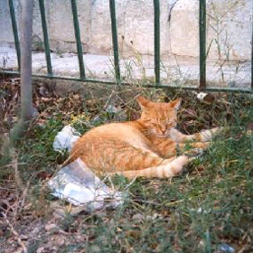Orange cat in Malta